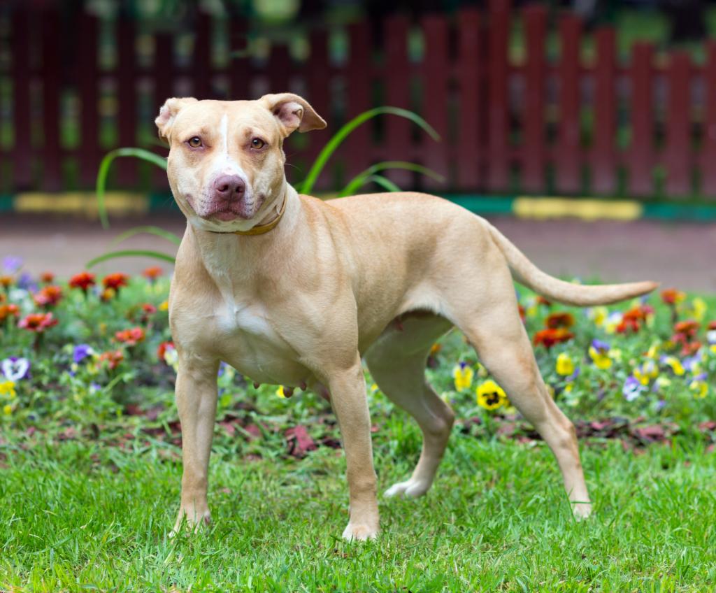 american pitbbull terrier