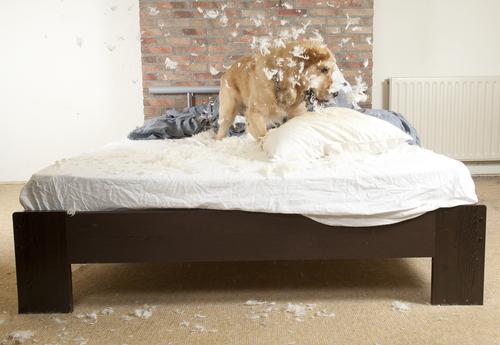 Cachorro destruindo travesseiro