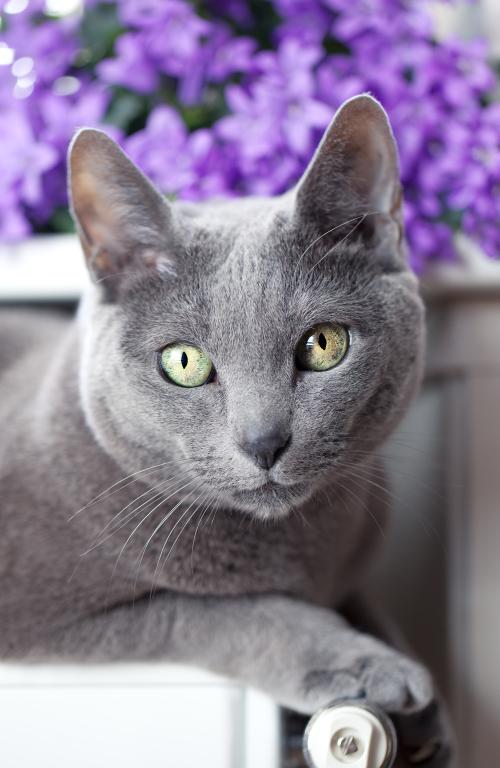 El Azul Ruso: la realeza felina
