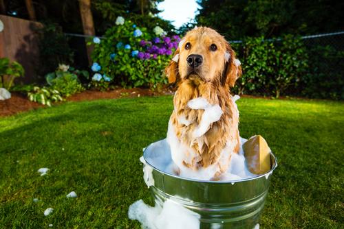 Como Bañar Un Perro | No Desesperes Consejos Sobre Como Banar A Tu Perro
