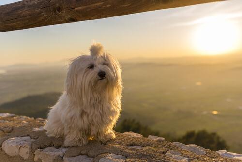 Bichon maltés en una puesta de sol