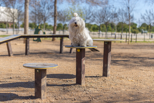 Bichon maltes sentado en el parque