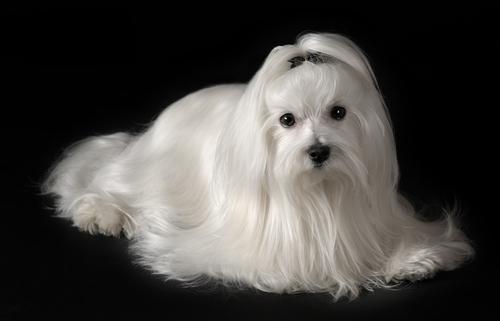 Cão da raça maltês
