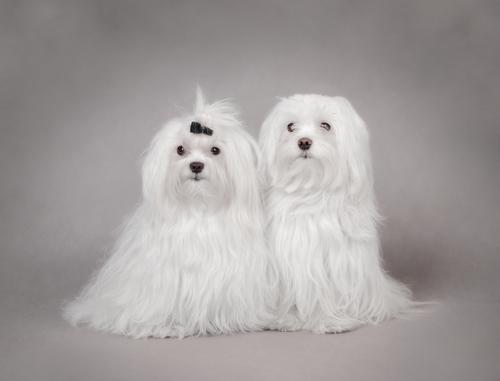 Cães da raça Maltês