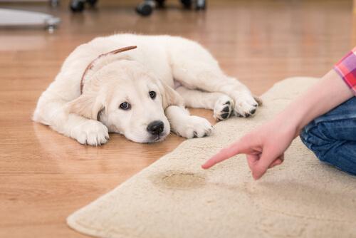 Cómo limpiar orina de perro en la alfombra