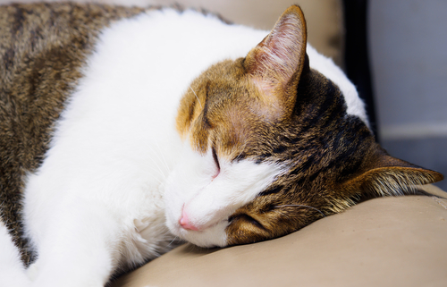 depresion en los gatos 2