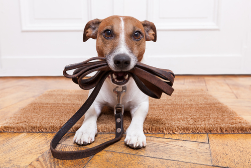Jack Russell holding a leash in its mouth