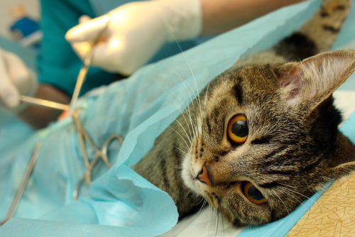 Cat being operated on by veterinarian