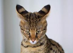 gato ashera 1