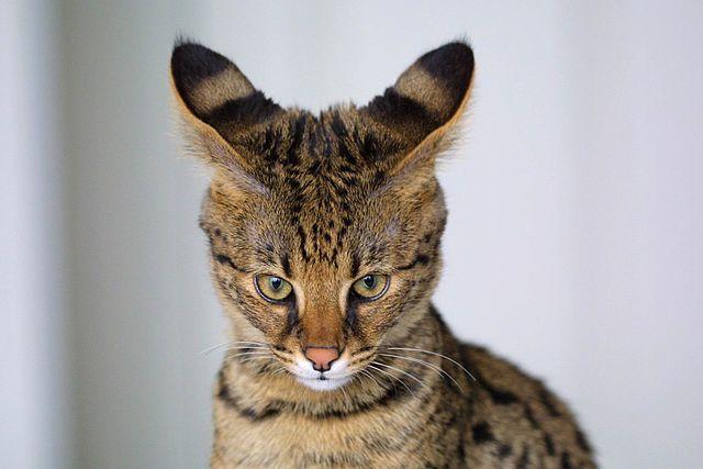 Todo sobre el espectacular gato Ashera