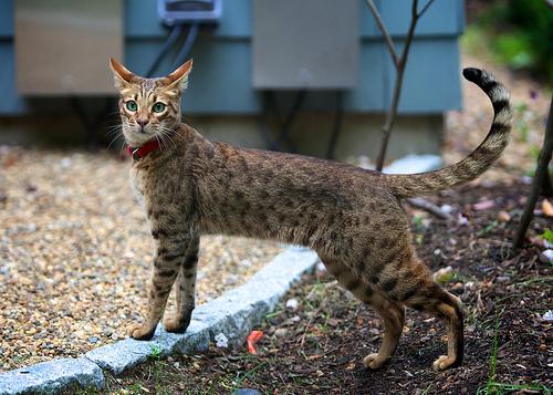 gato ashera 3