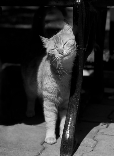 ¿Sabes por qué tu gato frota su cabeza contra ti?