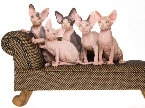Descubre los 10 gatos más raros del mundo
