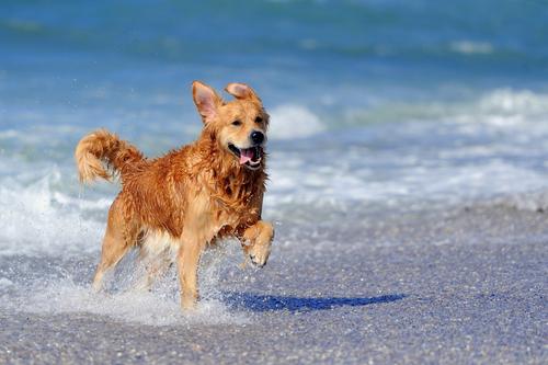 golden retriever na praia