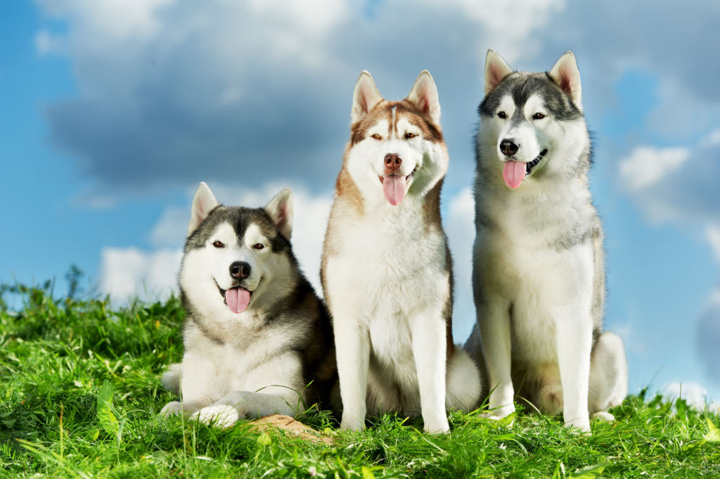 husky siberiano 3