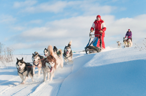 Siberian huskies are used for pulling sleds.