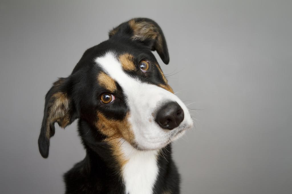 otitis canina 2