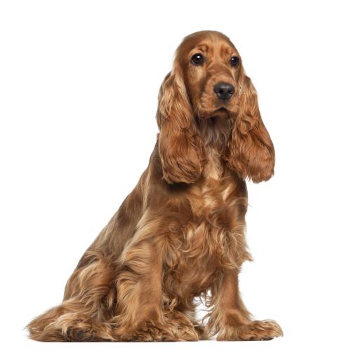 La otitis canina. Cómo detectarla a tiempo