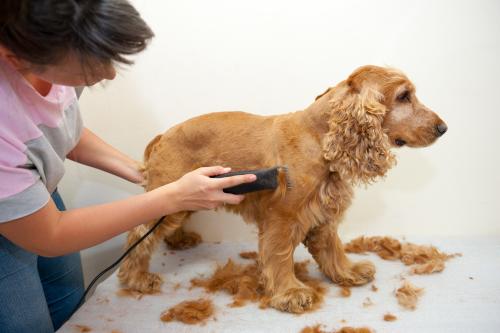 Cachorro tendo o pelo tosado