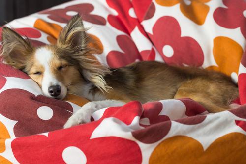 perro durmiendo Que sueñan los perritos - mastorrencito