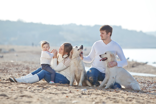 Two white Golden Retrievers on the beach with their family