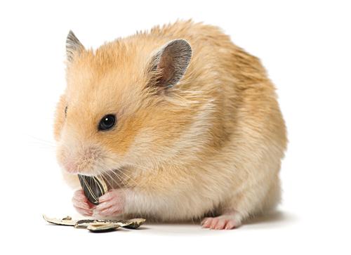 Hámster comiendo