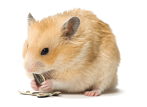 razas hamster 2