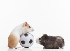 razas hamster
