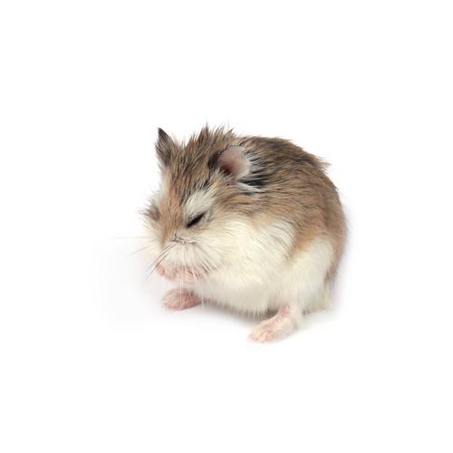 razas hamster 3