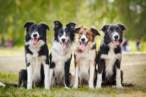Las razas de perro más inteligentes