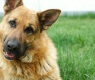 razas perros alemanas