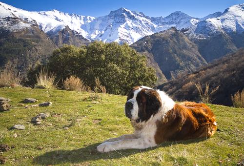San bernardo descansando en las montañas