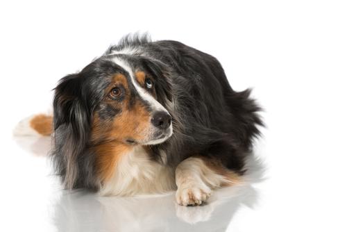 ¿Por qué tiemblan los perros?
