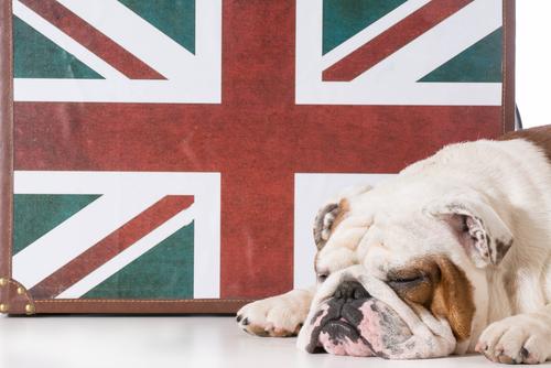 El comportamiento del bulldog inglés