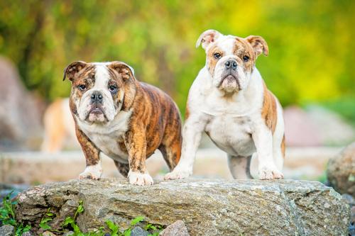 bulldog inglés 2