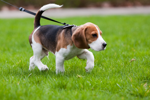 cachorro de paseo