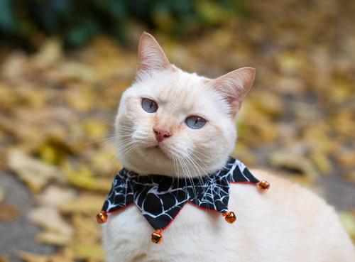 cascabel gato 2