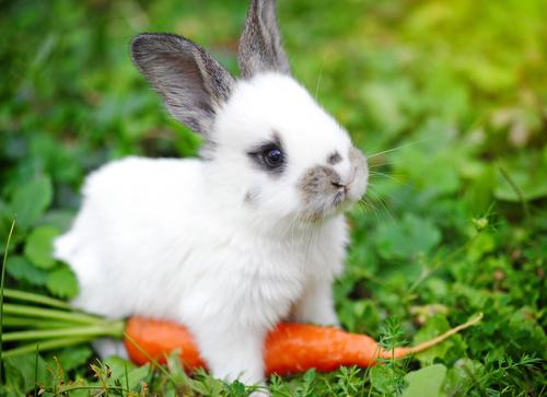 Coelho come cenoura?