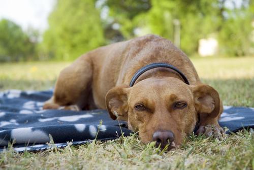 Cachorro deitado