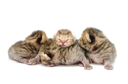 Cuidados y alimentación de gatitos prematuros