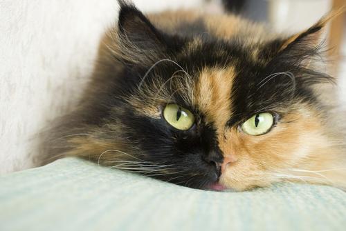 El significado del color de los gatos  Mis animales