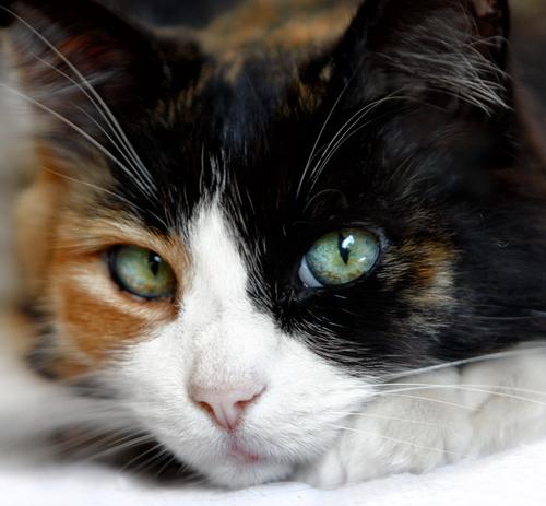 El significado del color de los gatos - Mis animales