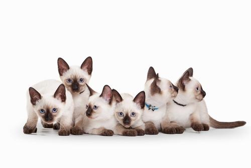 EL gato siamés, una belleza de ojos azules