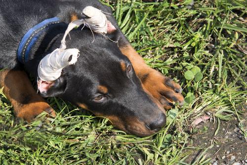 orejas perro 2