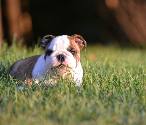 Bulldog laying in the grass