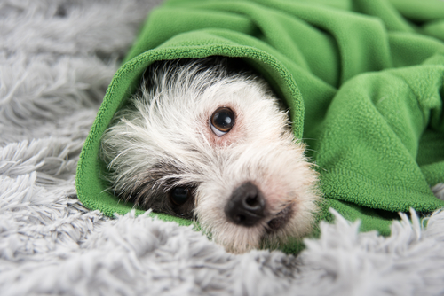 perro manta