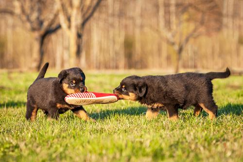 el rottweiler jugando