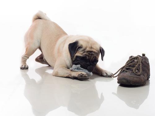 perro zapatilla