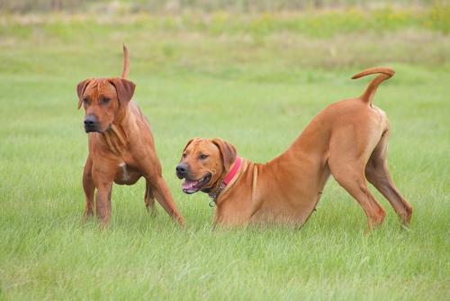 perros dominantes 3