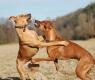 perros dominantes